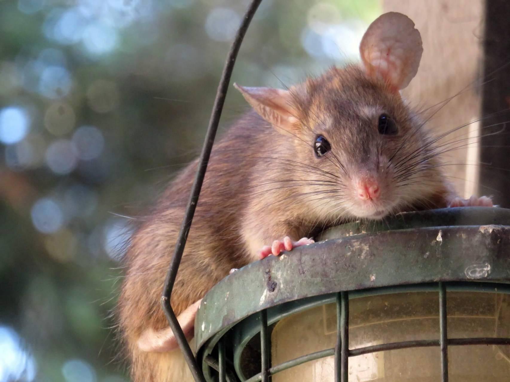 Så Tar Sig Råttorna In I Våra Bostäder