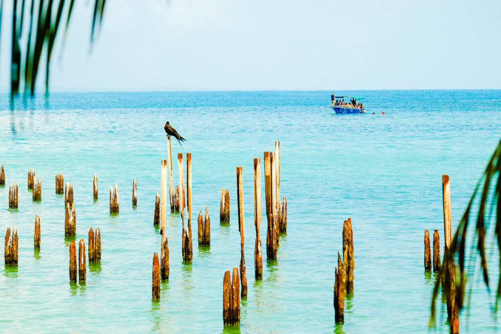 En fregattfågel betraktar en dykbåt i Cahuita.