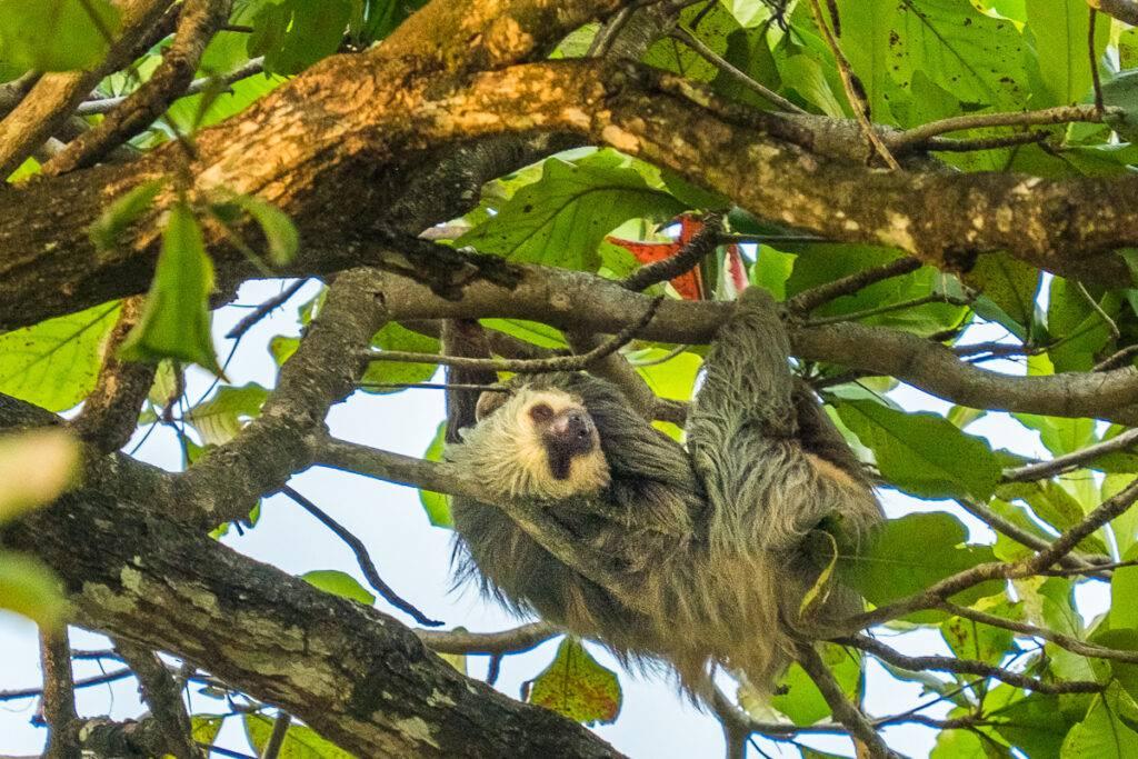 En sengångare i ett träd i Uvita.