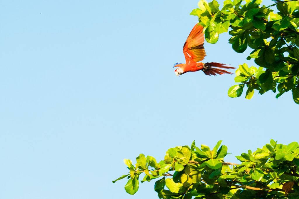 En röd arapapegoja flyger från ett träd i Tárcoles.