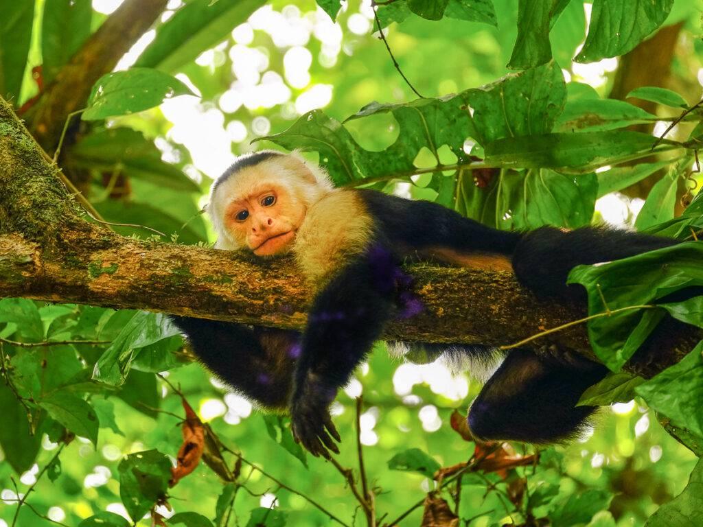 En kapucinapa i ett träd i Cararas nationalpark.
