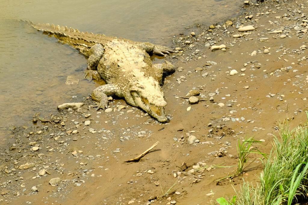 En krokodil vid Río Tárcoles.