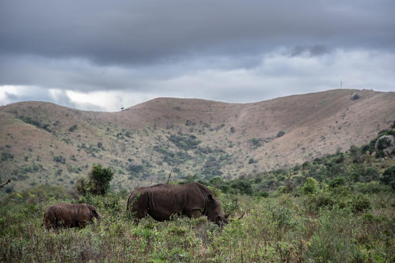Noshörningar på en slätt, berg i bakgrunden