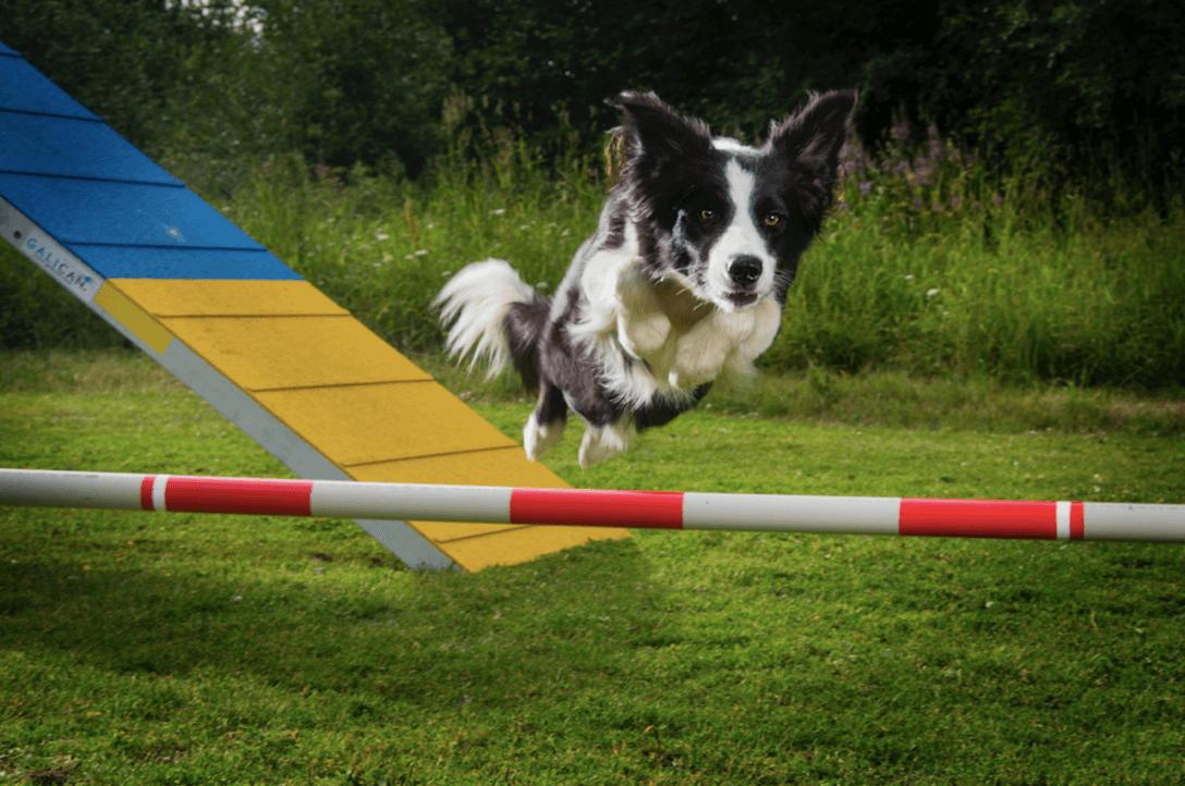 Stenhård träning krävs för att lyckas med agility