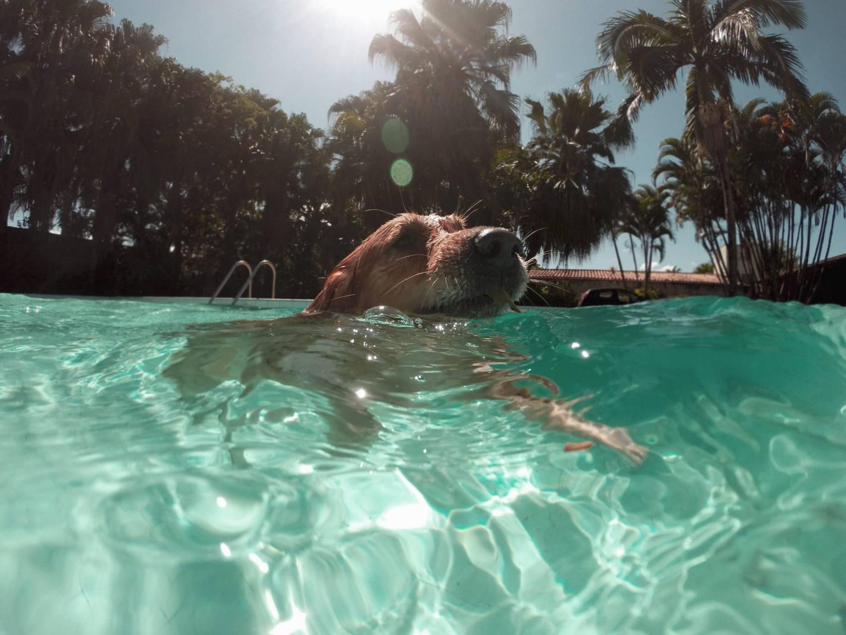 Hund som simmar i tropikerna