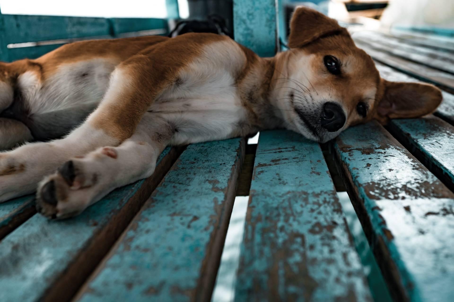 Hund som är sjuk
