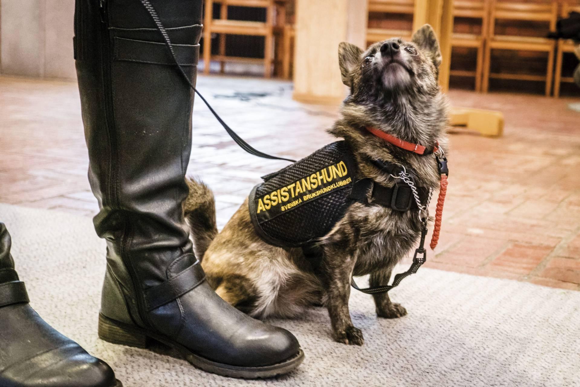 En av världens minsta assistanshundar.