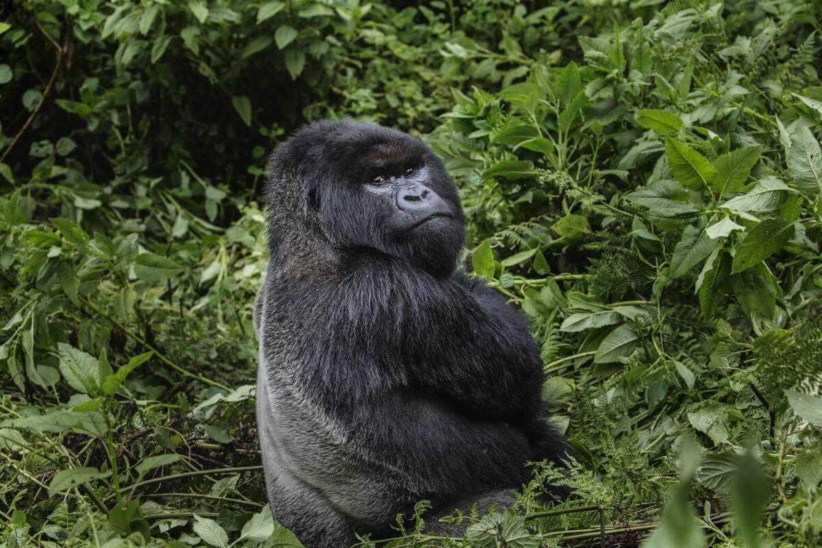 Virungabergens Konung          – En Resa I Rwandas Täta Skogar