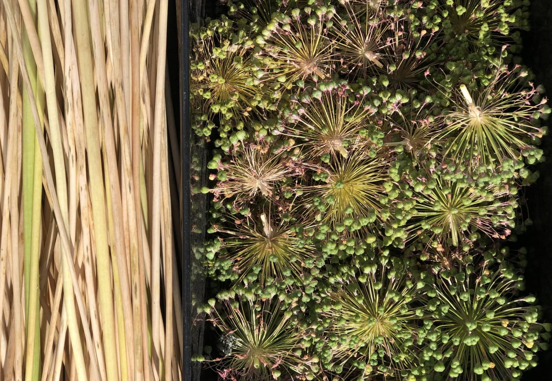 Fröhus och stänglar av utblommad allium tar vi tillvara och spar till nästa års odlingssäsong.