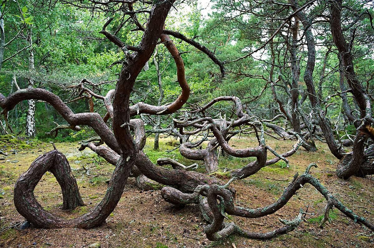 Trollskogen på Öland
