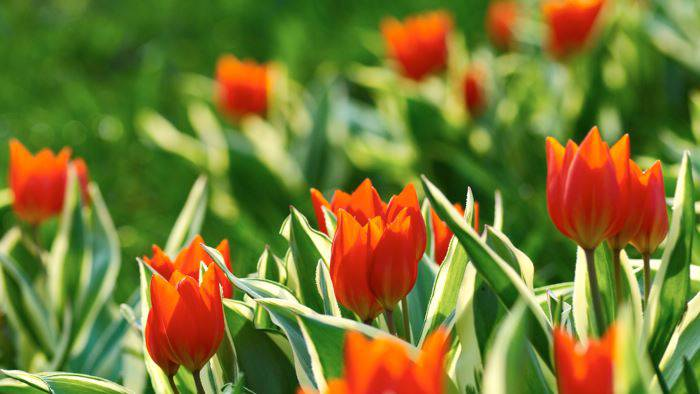 Anemontulpan, Tulipa praestans 'Unicum'