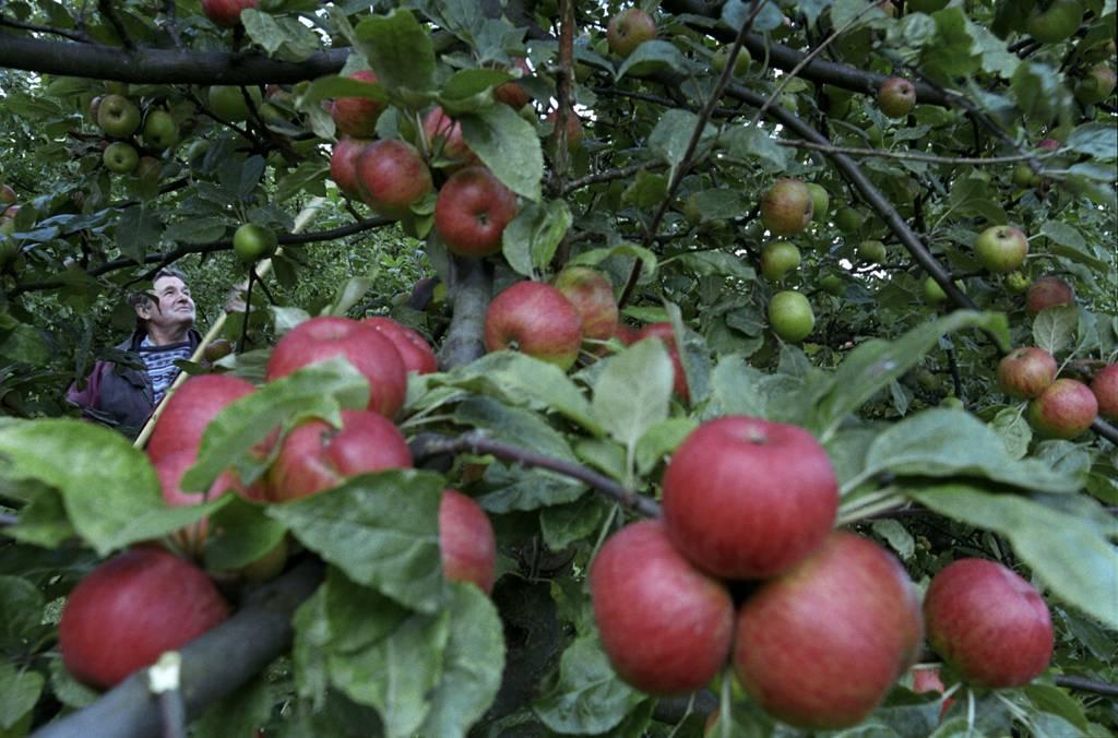 Äpplen i klasar