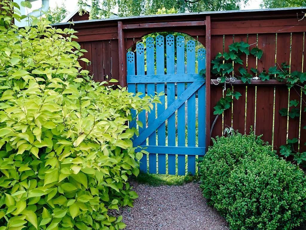 Innanför porten står gulbladig rysk kornell till vänster och på motsatt sida buxbom som klarat sig år ut och år in i det bistra klimatet.